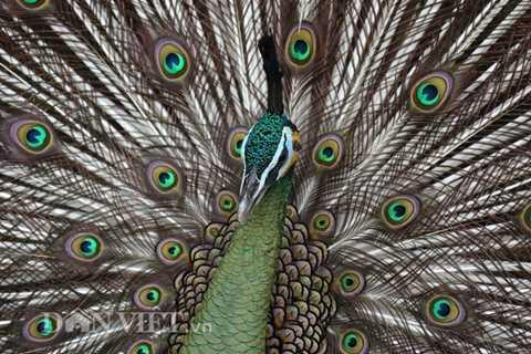 Hoa văn trên lông của chim công giống như những đồng tiền cổ nối liền nhau, màu sắc chủ yếu là vàng óng lộng lẫy. Vì vậy trước đây người ta còn dùng lông chim công làm đồ trang sức.