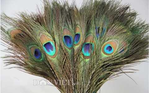 Cắm lông chim công vào bình là cách trang trí nhà cửa được yêu thích.