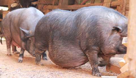 Tết này, ông Xẻ mổ tiếp một con lợn khủng nữa để gọi con cháu đến ăn uống cho vui
