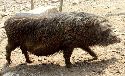 Người Mông nuôi lợn kiểu hoang dã