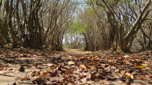 Ngoài vẻ đẹp tự nhiên rừng Rú Chá còn mang trong mình nhiều chuyện lạ để khám phá.