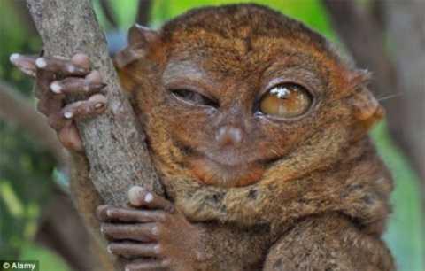 Khỉ lùn Tarsier xuất hiện trên Trái đất từ 45 triệu năm trước