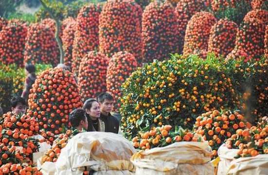 Cam, Quýt: Theo đại diện ở Trung tâm văn hóa Trung Quốc ở San Francisco, Mỹ, trong tiếng Trung từ vàng và cam có âm khá giống nhau, cũng giống như từ quýt và may mắn. Do đó trong ngày Tết, người dân thường mua hoa quả Tết như cam, quýt về bày biện trong nhà và để ăn. Họ thường chọn những quả còn lá tươi vì lá biểu tượng cho sự trường thọ.
