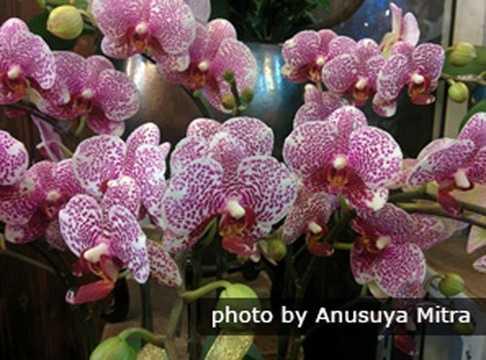 Hoa phong lan: Trong năm mới của Trung Quốc, mọi khu chợ hoặc cửa hàng đều bày bán những chậu hoa phong lan với đủ màu sắc đa dạng. Hoa lan là loài hoa tinh tế, đẹp và thanh lịch. Đặc biệt ở Trung Quốc, hoa lan từ lâu được coi là biểu tượng của sự sinh sôi nảy nở và thịnh vượng. Hoa lan cũng biểu hiện sự tinh tế, sang trọng và tinh khiết nên thường được bày vào ngày Tết.