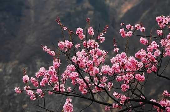 Hoa đào: Hoa đào là một trong những loại cây trưng bày dịp Tết không thể thiếu ở Trung Quốc. Nếu như quả đào tượng trưng cho tuổi thọ thì hoa đào tượng trưng cho sự lãng mạn, sự thịnh vượng và sự ăn nên làm ra.