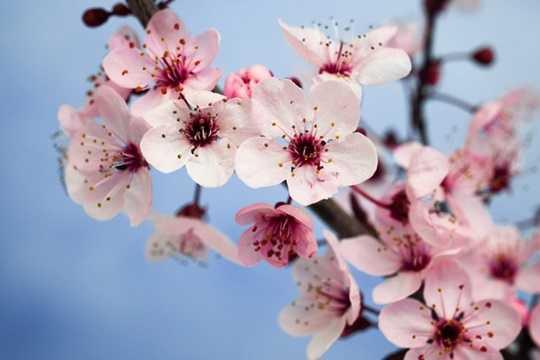 Hoa mận: Những bông hoa màu hồng tươi sáng tượng trưng cho sự kiên trì và độ tin cậy - hai đặc điểm cần thiết để thành công trong cuộc sống. Đây là một trong những loài hoa tượng trưng quan trọng nhất đối với người Trung Quốc. Nó tượng trưng cho sức chịu đựng và lòng can đảm. Mận, cùng với phong lan (độ tinh khiết), tre (phách), và hoa cúc là 4 loài cây tứ quý ở Trung Quốc.