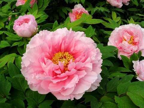 Nhung loai hoa qua Tet mang may man den ca nam-Hinh-9  Hoa Mẫu Đơn là loài hoa vương giả sang trọng, là biểu tượng cho sự giàu có, thịnh vượng và sắc đẹp. Tinh hoa nó toát ra đem lại vẻ đẹp, sức quyến rũ và may mắn trong tình yêu.
