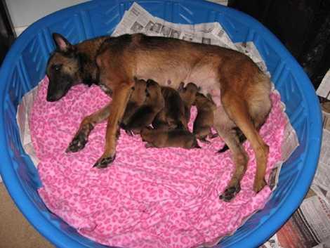 Giống chó được lựa chọn là Malinois của Bỉ và chỉ 1% trong số những con chó mới sinh đủ phẩm chất được lựa chọn