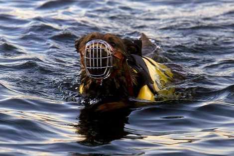 Một trong những bài tập đầu tiên của những chó này là bơi giữa biển, 4 phía không thấy bờ