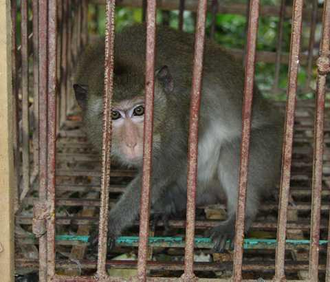 Khỉ được nuôi ở chùa Nhẫm Dương