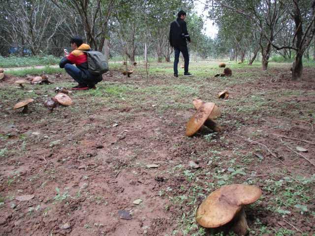 Những cây nấm khổng lồ trong vườn Thanh Trà của người dân xứ Huế khiến cộng đồng mạng tò mò.