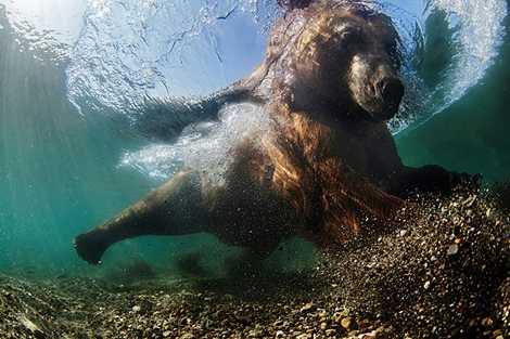 Gấu săn mồi của tác giả Mike Korostelev