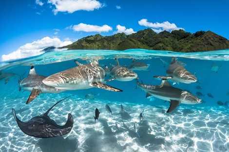 Đàn cá mập dạo chơi trong làn nước trong xanh