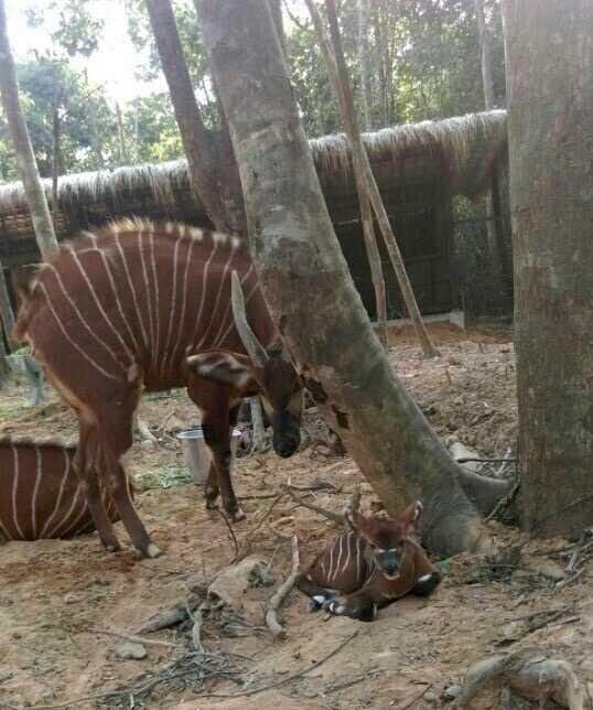 Linh dương Bongo ra đời tại Vinpearl Safari Phú Quốc