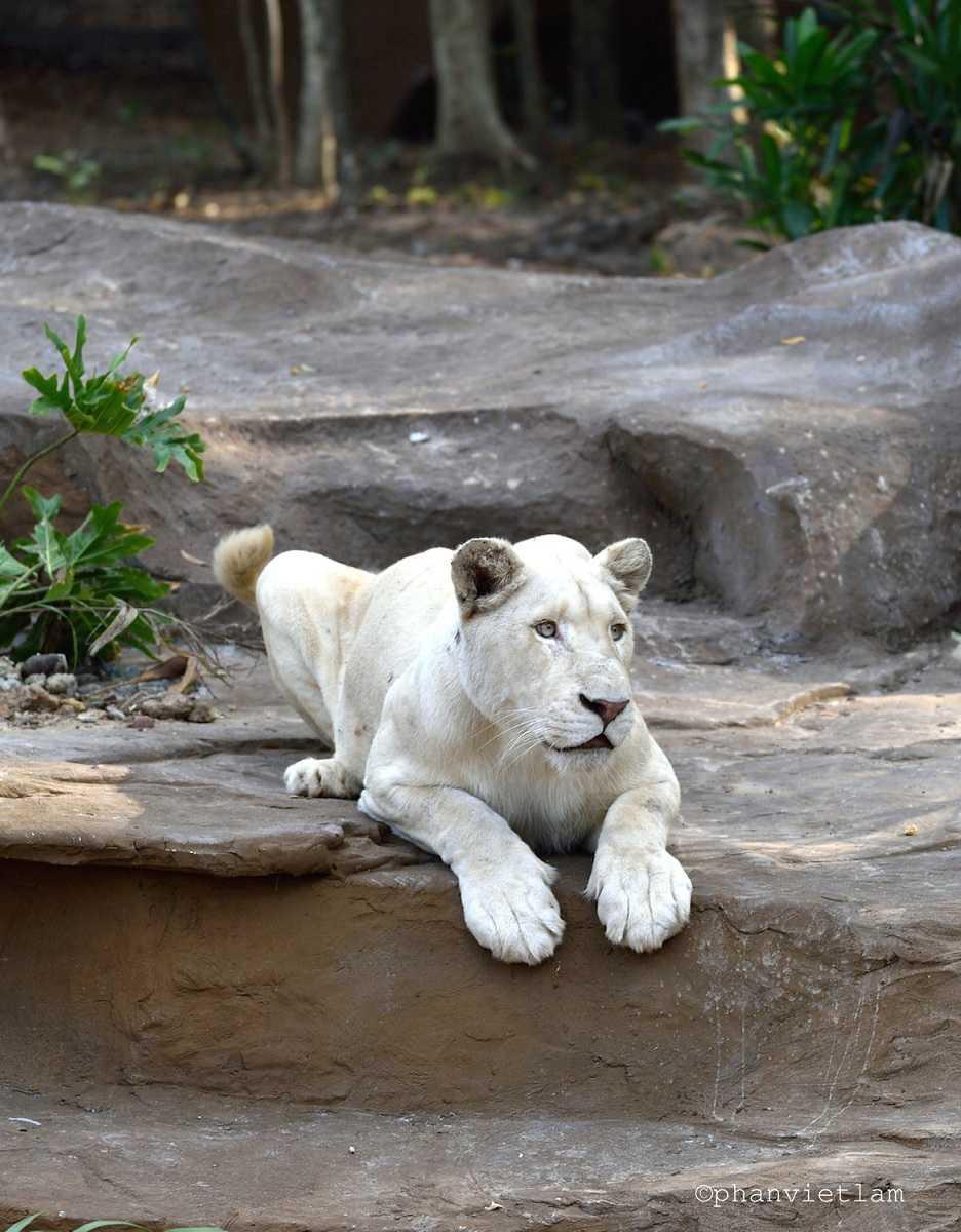 Hổ trắng