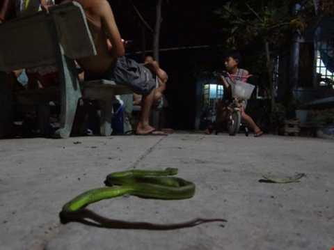Phát hoảng, phát hiện, rắn lục đuôi đỏ, đu bên cửa, người dân, TP HCM