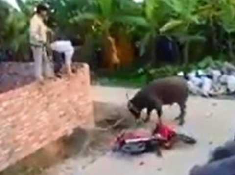 Trâu điên húc tung xe máy, làm loạn làng quê - Ảnh cắt từ clip