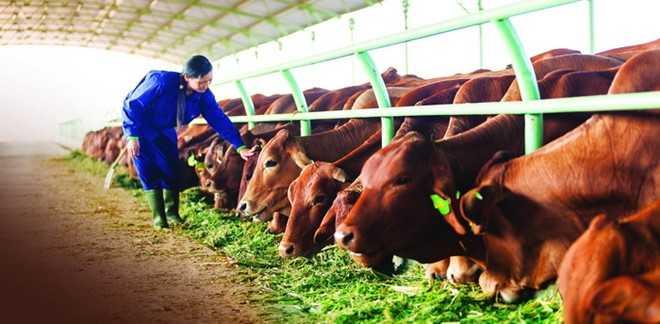 Trang trại nuôi bò của tập đoàn HAGL. Ảnh: HAAgrico.