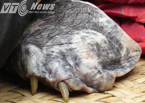 Bàn chân có móng sừng dài khoảng 3-4cm
