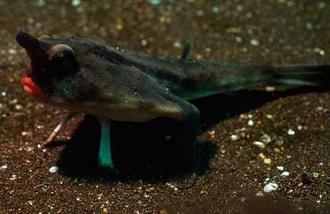Cá cánh dơi thường sống ở vùng biển ôn đới