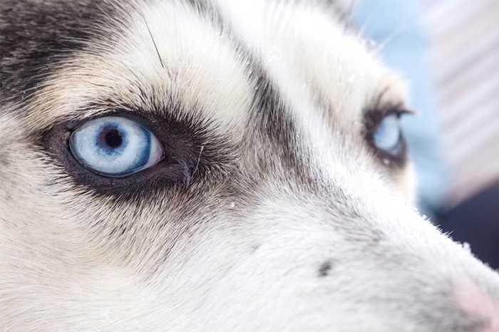 Lái xe chó kéo đôi khi trở thành một môn thể thao ở miền Bắc nước Nga