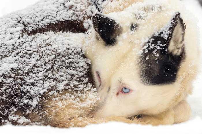 Những giống chó tham gia cuộc thi khắc nghiệt này thường là husky, malamute và samoyed