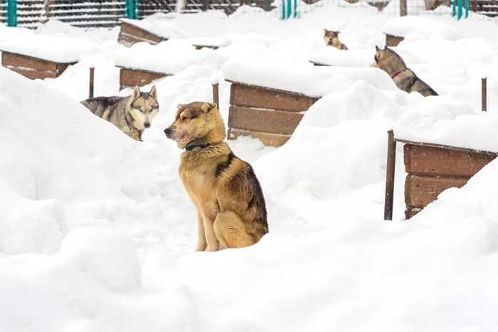 Những chú chó co ro trong tuyết