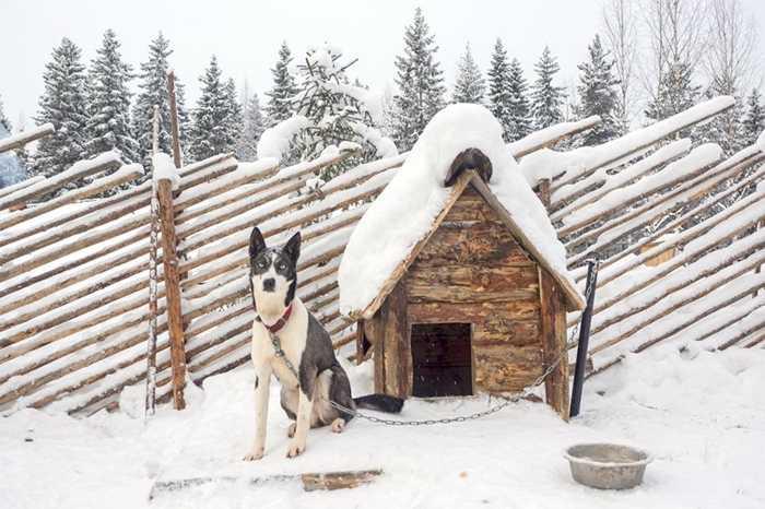 Những giống chó này có khả năng chịu được nhiệt độ tới -30 độ C