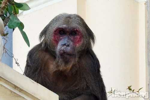Con khỉ có mặt đỏ, lông dài xám thường xuyên leo trèo qua các ban công của dãy nhà.