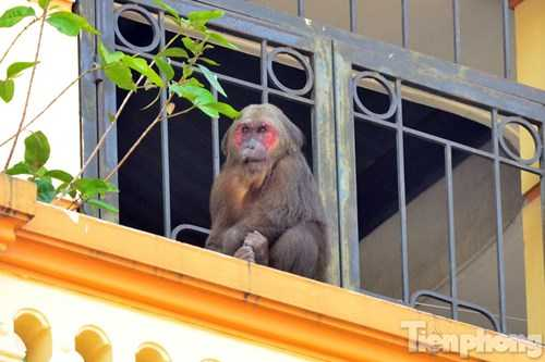 Con khỉ khá rụt dè khi thấy người.