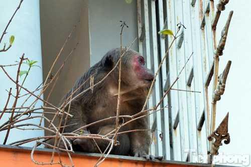 Anh Nguyễn Hưng, một người dân sống tại khu vực trên khẳng định, con khỉ leo trèo qua các ban công ngôi nhà từ buổi sáng nay (28/2).