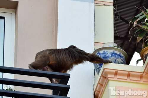 Con khỉ leo qua các ban công tòa nhà khá thành thạo.