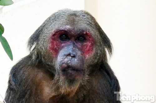 Theo quan sát con khỉ nặng khoảng 20kg.