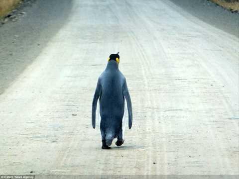 Con chim cánh cụt vua đang lang thang một mình trên đường.