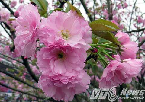 50 cây Hoa Anh Đào đang khoe sắc, được vận chuyển từ Nhật Bản sang được trưng bài tại triển lãm