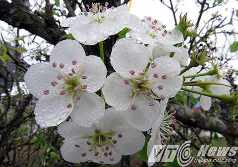 Một loại hoa Mai trắng Yên Tử cũng được trưng bày tại Lễ hội