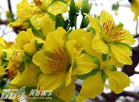 Mai vàng Yên Tử là sản phẩm quý hiếm, sản phẩm riêng có của vùng non thiêng Yên Tử, gắn với lịch sử và sự nghiệp của Phật hoàng Trần Nhân Tông.