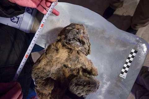 Các nhà khoa học tìm thấy chất lỏng màu trắng đục bên trong hai con sư tử con này. Ảnh Mirror