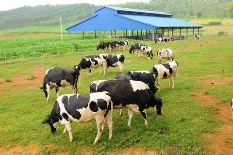 Hệ thống trang trại bò sữa Vinamilk với toàn bộ bò giống cao sản nhập khẩu từ Mỹ, Úc và New Zealand, cùng hệ thống các nhà máy chuẩn quốc tế trải dài khắp Việt Nam giúp Vinamilk luôn đảm bảo việc nguồn sữa tươi nguyên liệu từ các trang trại được vận chuyển nhanh chóng đến các nhà máy chế biến, đảm bảo giữ trọn vị thơm ngon và các chất dinh dưỡng từ sữa trong các sản phẩm một cách tối ưu.