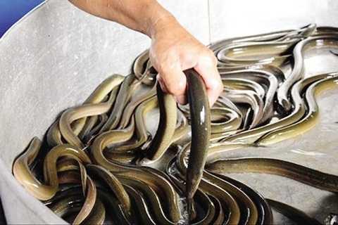 Lươn nuôi bằng thuốc tránh thai tăng nguy cơ rối loạn nội tiết. Ảnh minh họa