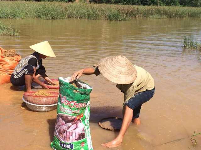 Những người nông dân cố gắng cứu lấy số thóc bị ngập lụt nhưng không được. Lúa hầu như đã nãy mầm, chỉ còn cách đưa về cho gà, cho vịt ăn