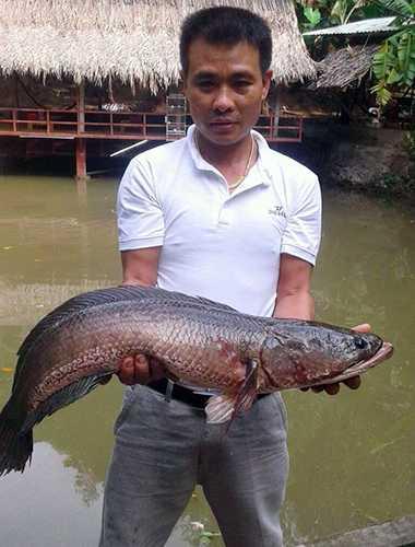 Ông Dũng với con cá lóc khủng vừa bắt được. Ảnh: Ngọc Trường.