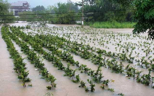 Nhiều vườn mai Tết ở Nhơn An bị ngập sâu trong nước lũ