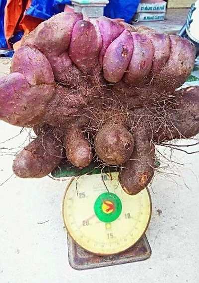 Củ khoai mỡ ông Sơn đào được trong vườn nhà nặng 21 kg. Ảnh: Thái Hà.