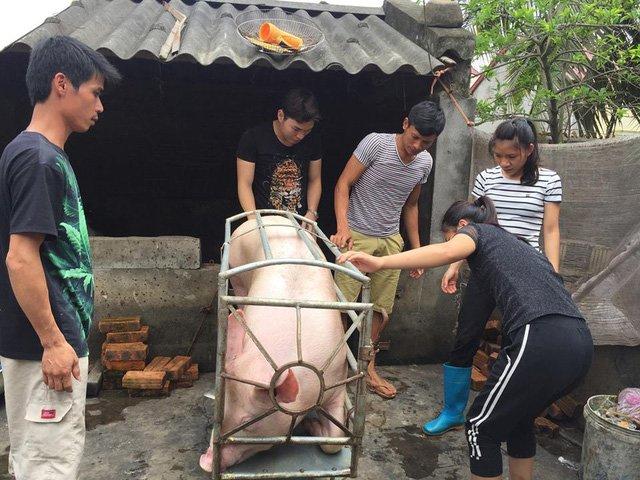 Một doanh nghiệp đã thu mua toàn bộ đàn lợn còn lại của chị Xuyến (ảnh CTV)