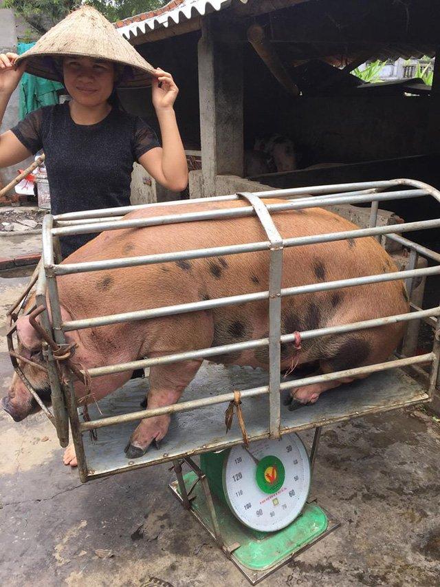Một doanh nghiệp đã mua hết số lợn nhà chị Xuyến với giá 35.000 đ/kg lợn hơi (ảnh CTV)
