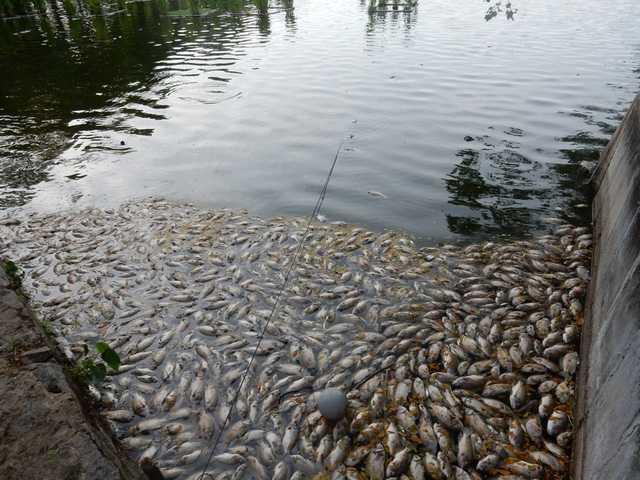 Ngày 1/8, nhiều người dân và du khách ra hóng mát ở hồ Công viên 29-3 (quận Thanh Khê, Đà Nẵng) bất ngờ phát hiện cá chết nổi trắng hồ...Ảnh: Đức Hoàng