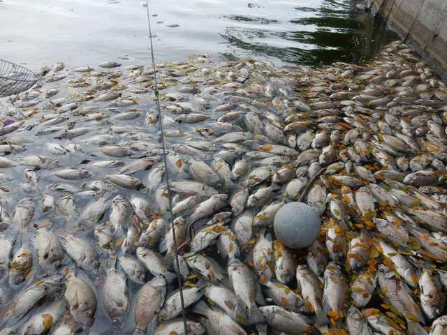 Đây là năm mà cá chết bất thường nhiều nhất mà chúng tôi chứng kiến. Chúng tôi không hiểu vì sao như vậy, mong thành phố nhanh chóng vào cuộc điều tra nguyên nhân, một người dân sống gần hồ Công viên 29-3 nói. Ảnh: Đức Hoàng