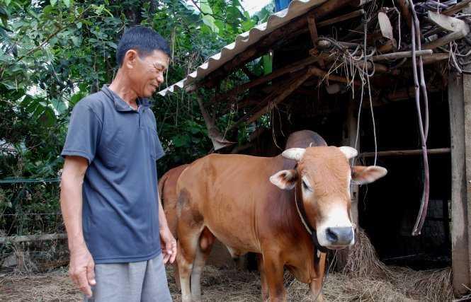 Con bò vô vọng trong bức ảnh lan truyền trên facebook mấy ngày lũ vừa qua sau khi thoát chết đã khỏe mạnh trở lại – Ảnh: QUỐC NAM