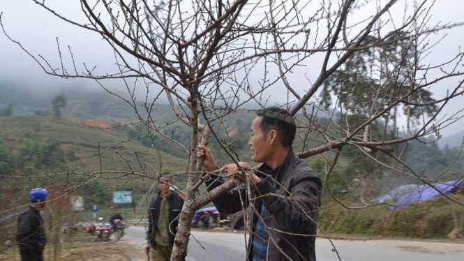 Đào rừng Sapa xuống phố - Ảnh: Hồng Thảo